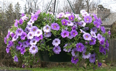 "10"" Hanging Basket from Mischler's Florist and Greenhouses in Williamsville, NY"