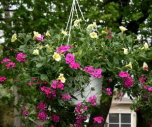 12 Inch Hanging Swirl Basket from Mischler's Florist and Greenhouses in Williamsville, NY