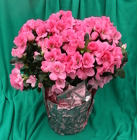 Azalea from Mischler's Florist and Greenhouses in Williamsville, NY