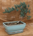 Bonsai Blue Chinese Juniper from Mischler's Florist and Greenhouses in Williamsville, NY