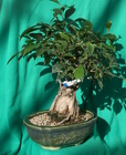 Bonsai Ginseng Ficus 1028 from Mischler's Florist and Greenhouses in Williamsville, NY