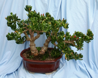 Bonsai Jade Hobbit 1010 from Mischler's Florist and Greenhouses in Williamsville, NY