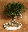 Bonsai Willow Leaf Ficus 987 from Mischler's Florist and Greenhouses in Williamsville, NY