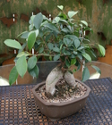 Bonsai Gensing Ficus 1252 from Mischler's Florist and Greenhouses in Williamsville, NY