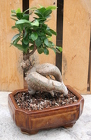 Bonsai Ginseng Ficus 110 from Mischler's Florist and Greenhouses in Williamsville, NY