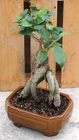 Bonsai Ginseng Ficus 111 from Mischler's Florist and Greenhouses in Williamsville, NY