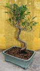 Bonsai Tiger Bark Ficus 112 from Mischler's Florist and Greenhouses in Williamsville, NY