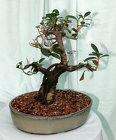 Bonsai - Green Island Ficus 1206 from Mischler's Florist and Greenhouses in Williamsville, NY
