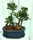 Bonsai Jade 1207 from Mischler's Florist and Greenhouses in Williamsville, NY