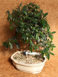 Bonsai Brush Cherry 972 from Mischler's Florist and Greenhouses in Williamsville, NY