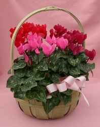 Cyclamen Basket Trio from Mischler's Florist and Greenhouses in Williamsville, NY
