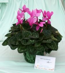 Cyclamen & Gift Certificate from Mischler's Florist and Greenhouses in Williamsville, NY