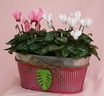 Cyclamen Double Tin from Mischler's Florist and Greenhouses in Williamsville, NY