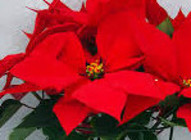 Ferara Red - NEW from Mischler's Florist and Greenhouses in Williamsville, NY