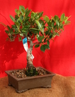 Bonsai Ficus Retusa from Mischler's Florist and Greenhouses in Williamsville, NY
