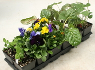 Tray of Pansies and Veggies from Mischler's Florist and Greenhouses in Williamsville, NY