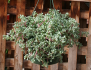 "Hanging 8"" Basket Pink Vygie from Mischler's Florist and Greenhouses in Williamsville, NY"