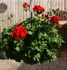 Hanging Basket - Geranium from Mischler's Florist and Greenhouses in Williamsville, NY