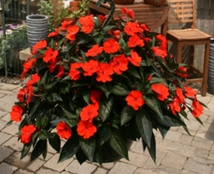 Hanging Basket - Sunpatiens from Mischler's Florist and Greenhouses in Williamsville, NY