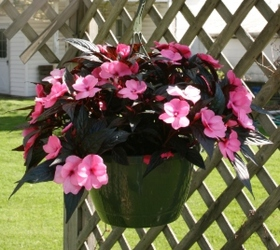 Hanging Basket - New Guinea Impatiens from Mischler's Florist and Greenhouses in Williamsville, NY