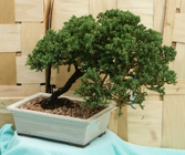 Bonsai Japanese Juniper 832 from Mischler's Florist and Greenhouses in Williamsville, NY