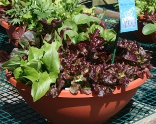 Lettuce Bowl from Mischler's Florist and Greenhouses in Williamsville, NY