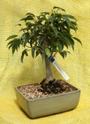 Bonsai Oriental Ficus 825 from Mischler's Florist and Greenhouses in Williamsville, NY