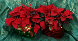 Poinsettia Oval Tin from Mischler's Florist and Greenhouses in Williamsville, NY