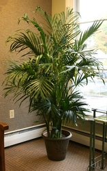 Cataractarum Palm from Mischler's Florist and Greenhouses in Williamsville, NY