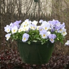 Pansy Hanging Basket from Mischler's Florist and Greenhouses in Williamsville, NY