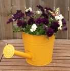 Pansy Watering Can from Mischler's Florist and Greenhouses in Williamsville, NY