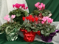 Cyclamen Party Favors from Mischler's Florist and Greenhouses in Williamsville, NY