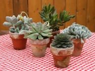 Party Favors - Succulents from Mischler's Florist and Greenhouses in Williamsville, NY