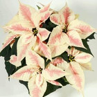 Poinsettia Christmas Feeling Marble - NEW from Mischler's Florist and Greenhouses in Williamsville, NY