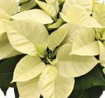Premium Polar - NEW from Mischler's Florist and Greenhouses in Williamsville, NY