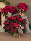 Poinsettias 3 Sizes from Mischler's Florist and Greenhouses in Williamsville, NY