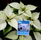 Polar Bear from Mischler's Florist and Greenhouses in Williamsville, NY