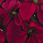 Prestige Maroon - NEW from Mischler's Florist and Greenhouses in Williamsville, NY