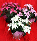 Princettia - NEW from Mischler's Florist and Greenhouses in Williamsville, NY