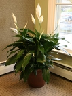 Spathiphyllum from Mischler's Florist and Greenhouses in Williamsville, NY