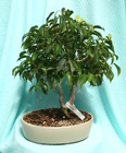 Bonsai Wiandi Ficus 826 from Mischler's Florist and Greenhouses in Williamsville, NY