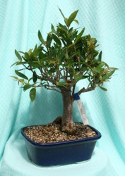 Bonsai Willow Leaf Ficus 827 from Mischler's Florist and Greenhouses in Williamsville, NY