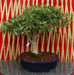 Bonsai Willowleaf Ficus from Mischler's Florist and Greenhouses in Williamsville, NY